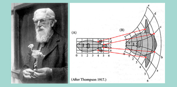Figure 2. Le structuralisne de d'Arcy Thomson