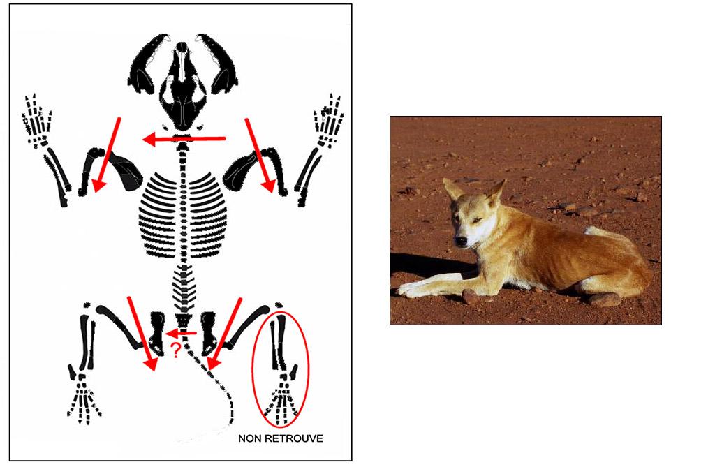 Fig. 4. Santhiou Kohel (Sénégal). Sépulture centrale du tumulus 43. Plan de découpe probable du chien.