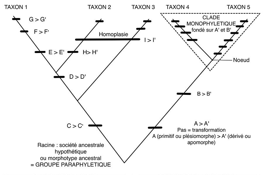 Terminologie cladistique