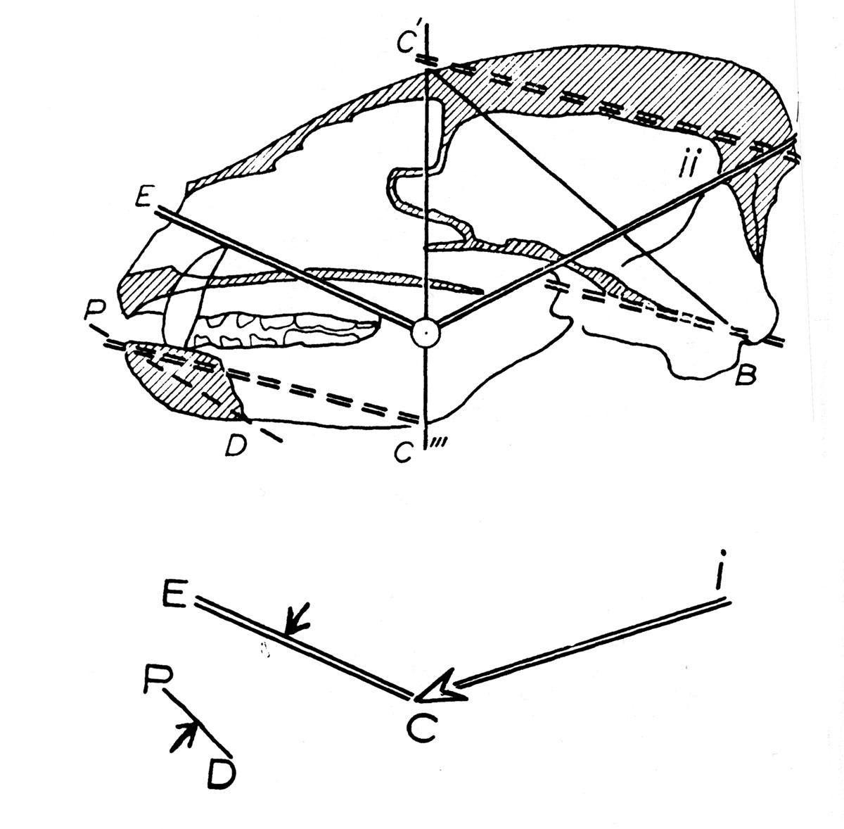 Fig. 11. Analyse des tracés du crâne du blaireau. Tracé d'appui. La symphise P-D correspond, dans l'ensemble P-D-I, à un couple de flexion et son importance comme appui est proportionnelle à l'importance des actions sur les dents antérieures. Elle est en « résonnance » mécanique avec une partie du plancher basillaire.