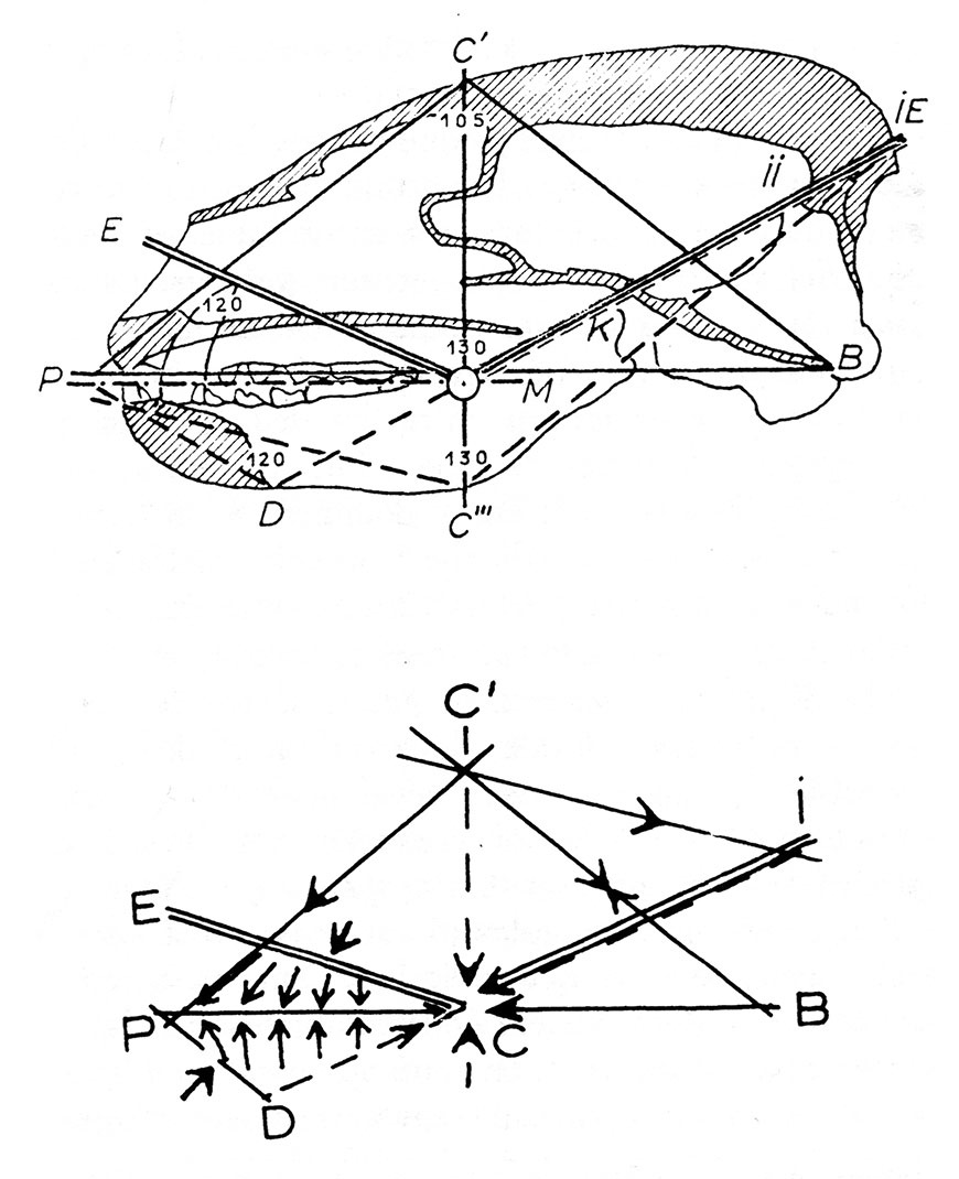 Fig. 12. Analyse des tracés du crâne du blaireau. Tracé d'ensemble, limité aux lignes d'action. Noter l'importance du point C comme point d'annulation des forces. (LG, fig. 7)