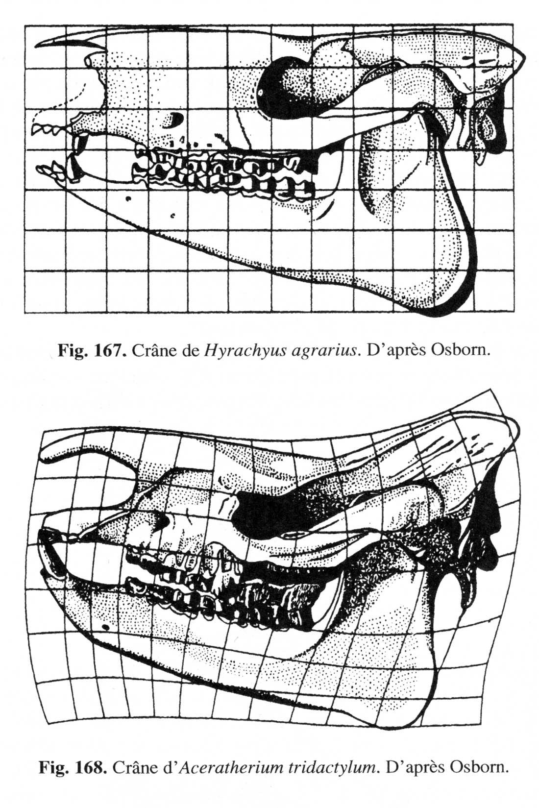Fig. 2. Comparaison entre un crâne d'Hyrachyus agrarius et d'Aceratherium tridactylum (fig. 168)