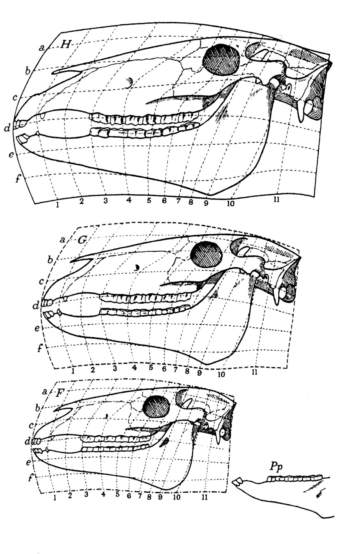 Fig. 3. Cheval moderne, F. Miohippus (Eocène supérieur - Oligocène inférieur), G.Forme intermédaiore restituée (fig. 175).