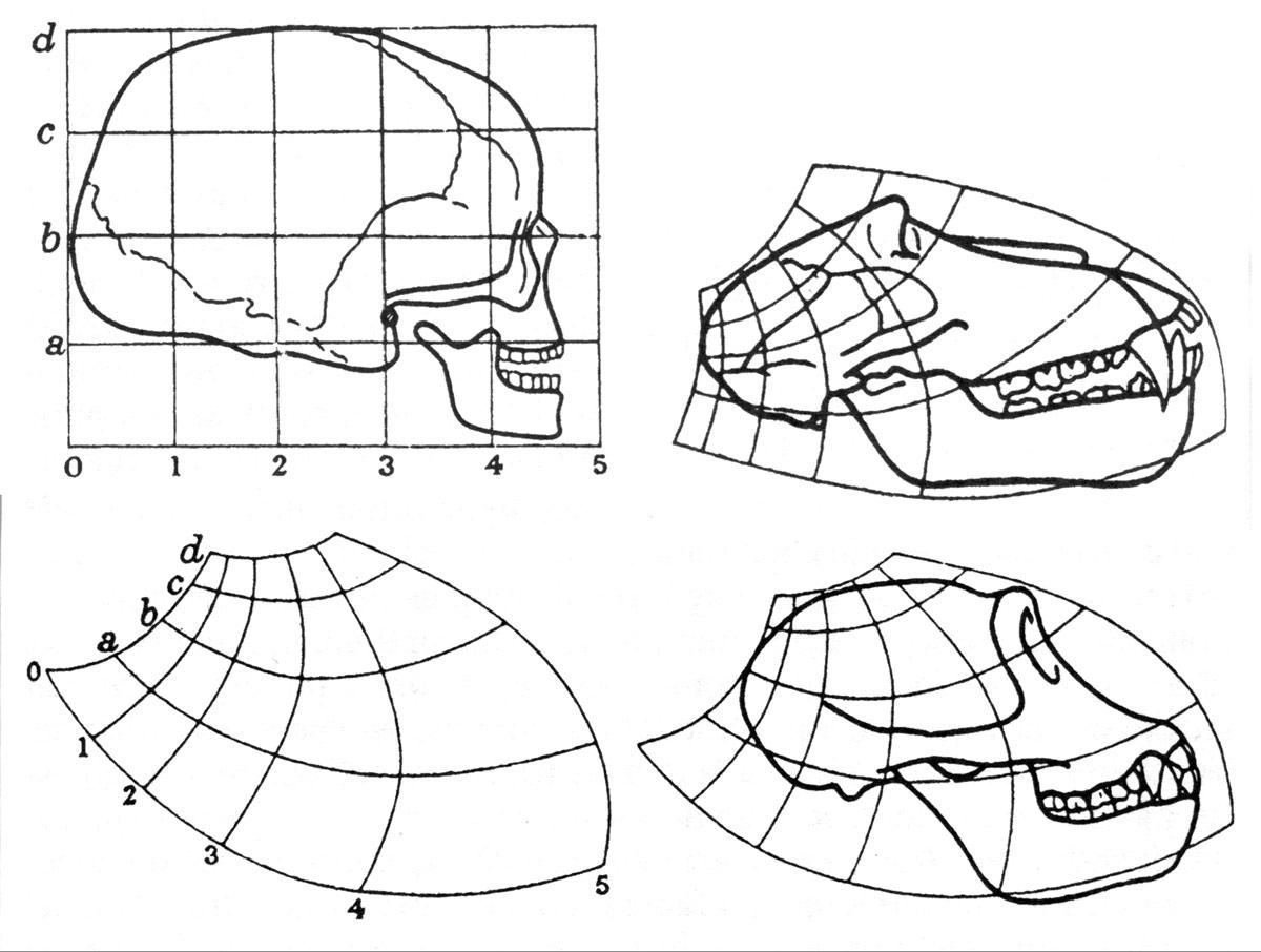 Fig. 6. Comparaison des crânes de l'Homo sapiens, du babouin et de chimpanzé (fig. 177, 179 et 180).
