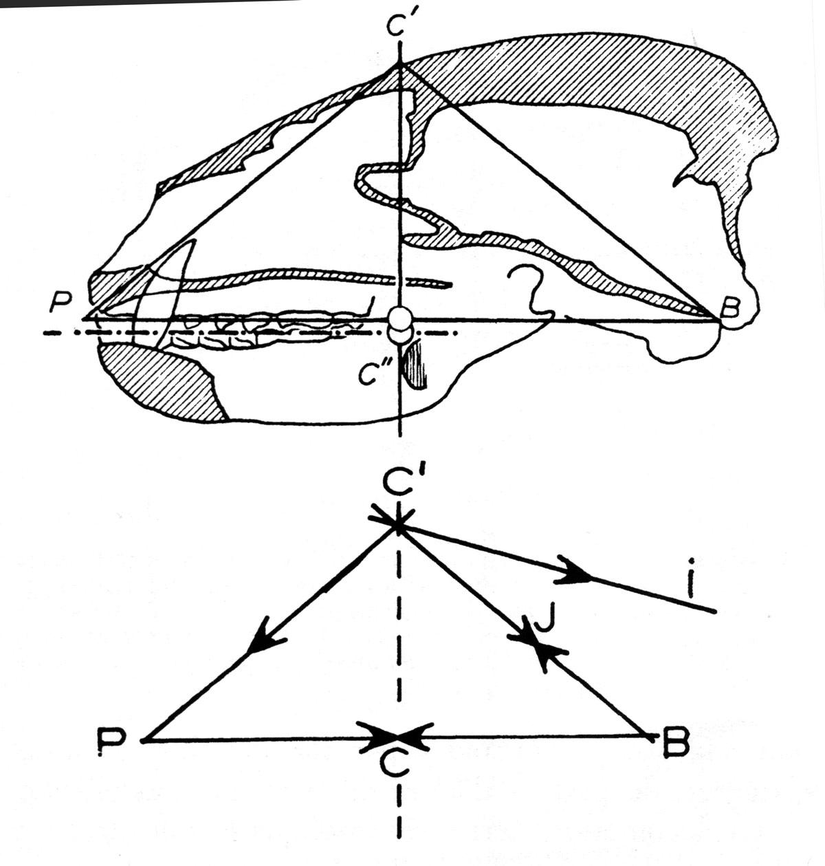 Fig. 9. Analyse des tracés du crâne du blaireau. Pour la simplification du tracé, le compas jugal n'est présent que dans les figures 5 et 7. La direction des vecteurs des différentes forces concourantes est marquée par des flèches. Tracé de suspension : noter l'équilibre des concourantes par paires P-C'et C'-I sur le tracé de tensions ; P-C et C-B, sur le tracé de compression. Le centre C correspond à la fois au point d'annulation des efforts le long de P-B et au passage de la résultante des forces du tracé P-C'-I. le point I correspond à l'annulation des efforts sur C'-B et peut marquer la région de flexures plano-cliviennes (LG, fig. 4).